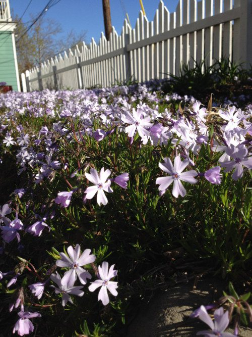 light pink flowers with dark green stems planted outside against white picket fence, blue sky, winter-bare tree and teal house corner that has part of a balcony showing along with telephone wires and pole